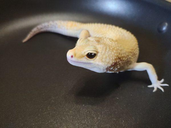 Super Hypo Tangerine Eclipse Tremper Albino