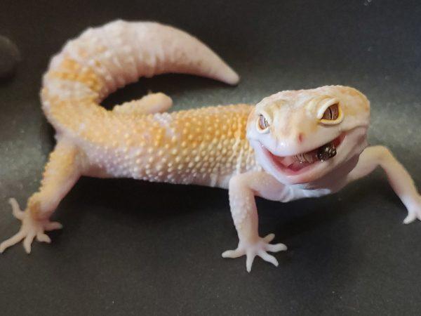 White & Yellow Tremper Albino