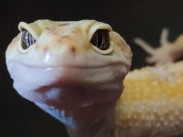 Дата рождения: 2017 Морфа: White & Yellow Tremper Albino Paradox гет G Project Пол: самка