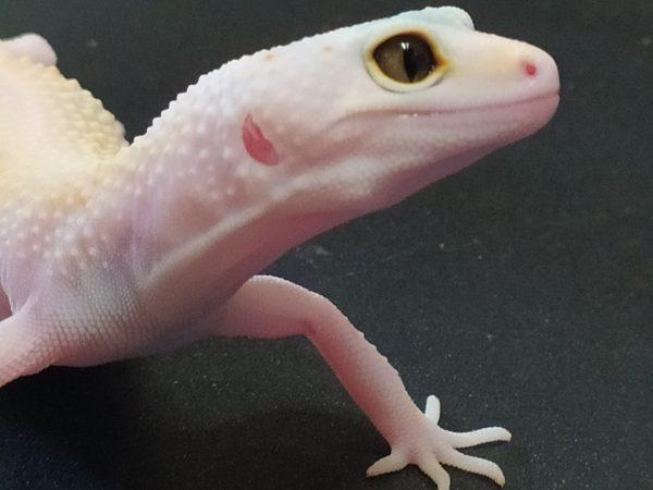 Морфа: White & Yellow Tremper Albino Enigma (гет Эклипс?)