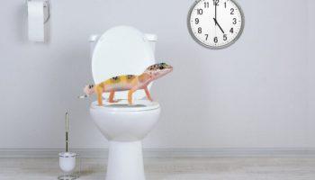 Эублефар какает везде, как приучить к туалету